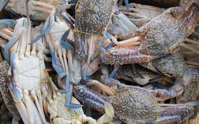 Thailand blue swimming crab