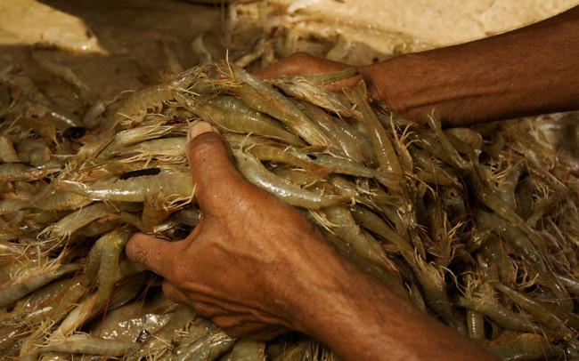 Men weighing sorted shrimps harvested from a shrimp farm pond