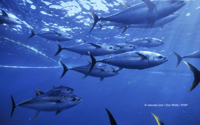 Yellow fin tunas, Pacific ocean