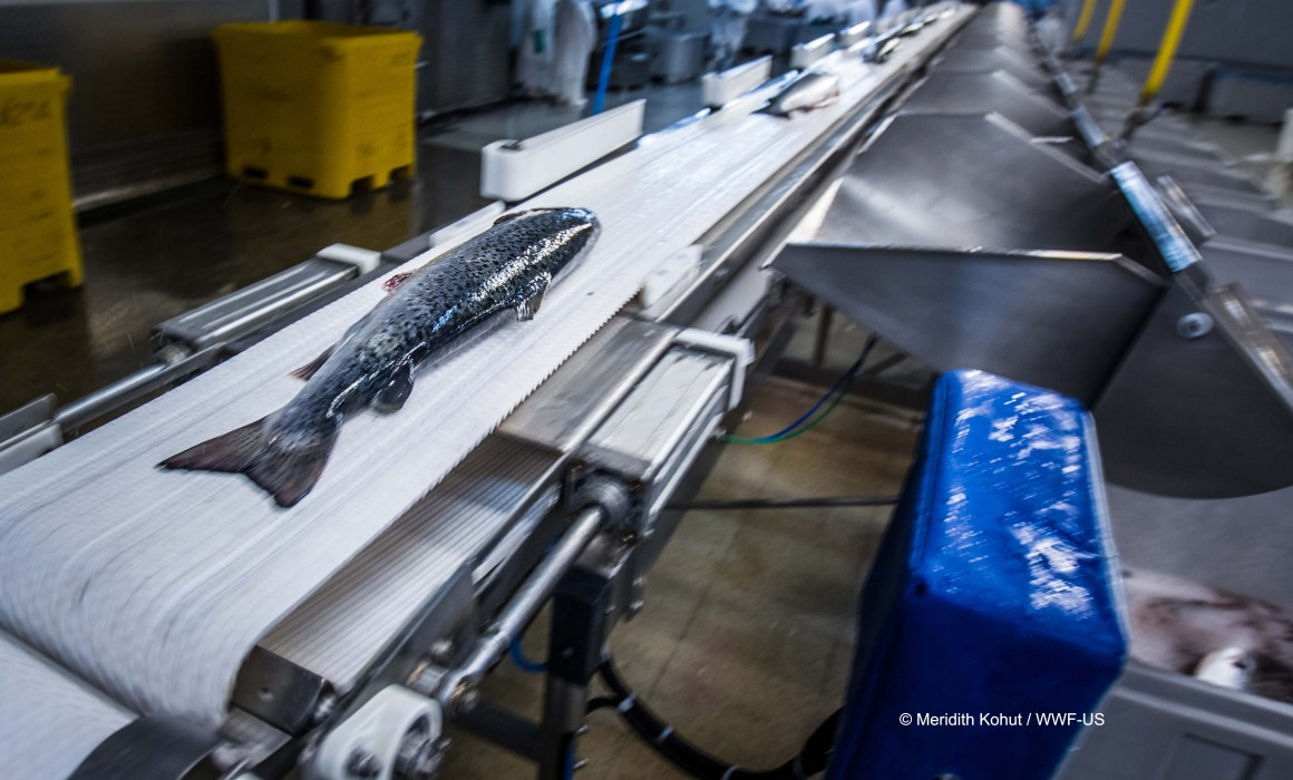 PUERTO MONTT, CHILE - MARCH 13, 2014: Workers process industrially farmed salmon to be shipped at the AquaChile processing plant in Puerto Montt. AquaChile is the largest exporter of salmon in Chile.