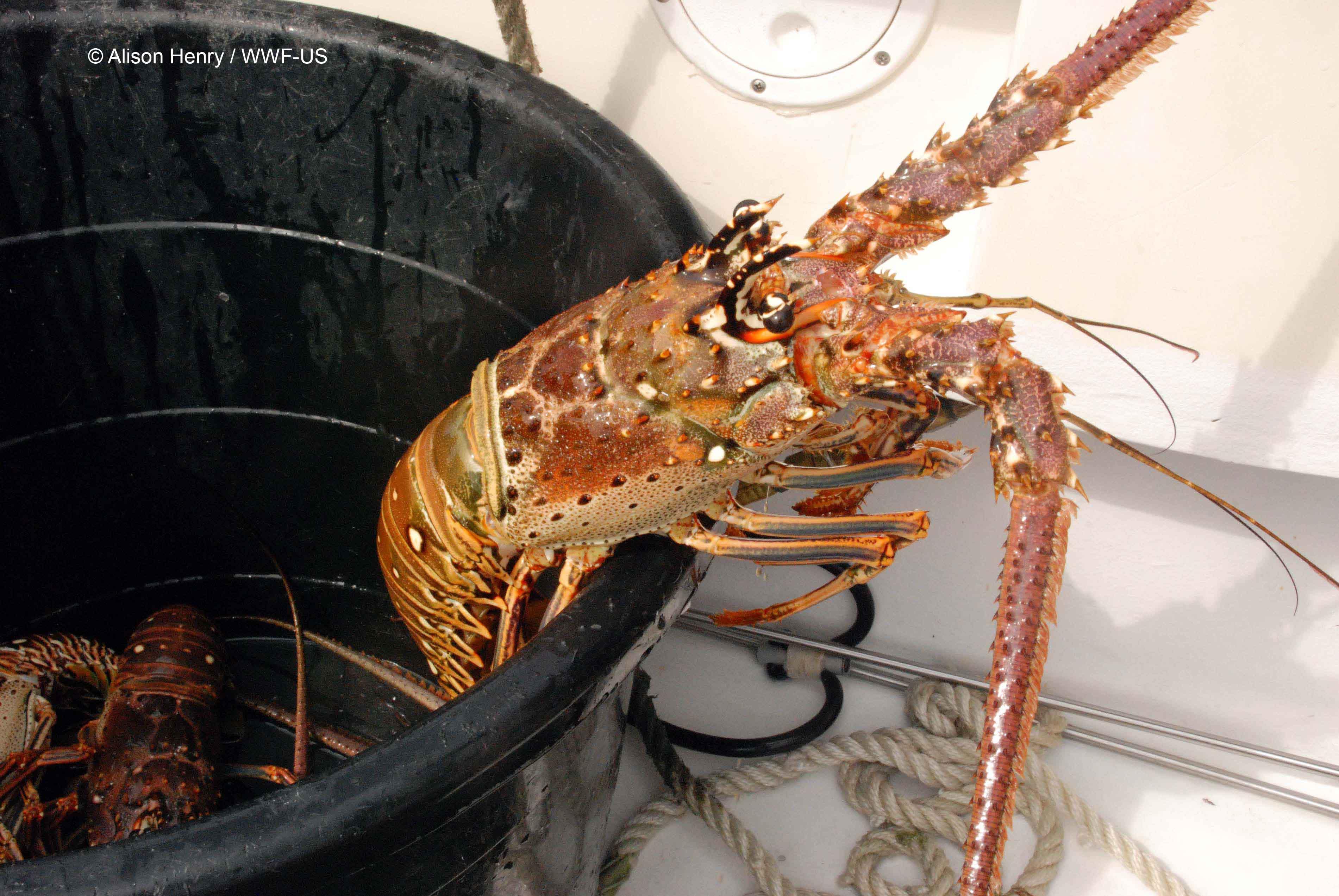 bahamas_lobster_blog_image1