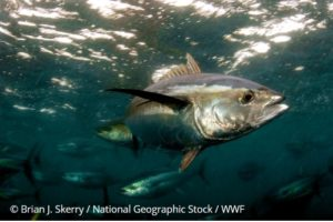 yellowfin skerry