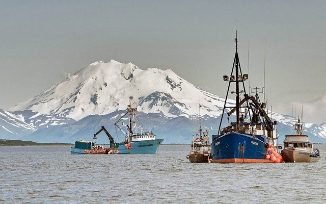 Bristol Bay drift gillnet fishermen unload their catch to a larger tender boat, which brings the fish to the processing plant.