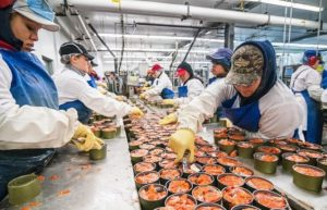 Workers in a seafood processing plant pack cans of sockeye salmon.