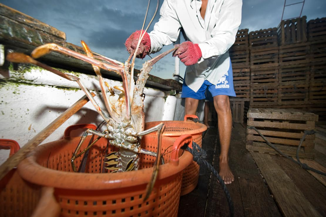 A bait man takes a lobster out of the traps and puts it in a basket, Honduras