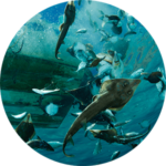 Guitarfish, rays, and other bycatch are tossed from a shrimp boat in La Paz, Mexico
