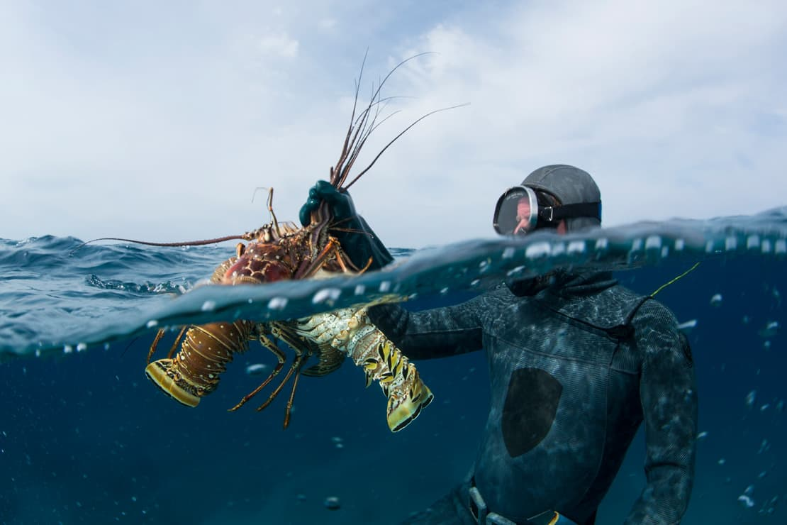 Lobsterman Bruno Underwood brings two lobsters to the surface in Spanish Wells, Bahamas
