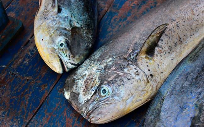 A female and a male Mahi Mahi fish on the deck of a boat in Ecuador