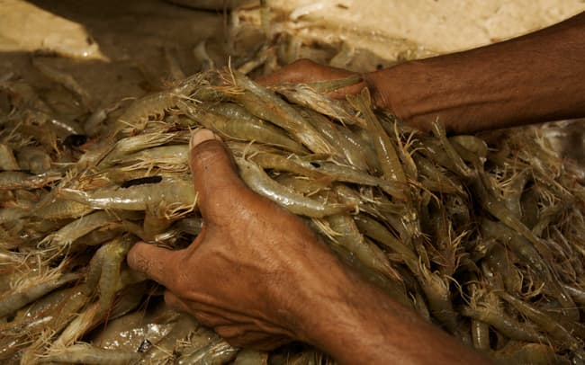 Men weighing sorted giant tiger shrimps harvested from a shrimp farm pond, Sundarbans, Khulna Province, Bangladesh