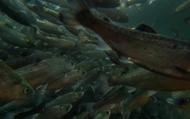 Salmon swim in industrial cages in a marine farm in southern Chile