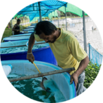 Shrimp farmer scoops from a holding bin for shrimp larvae before transferring them to a pond
