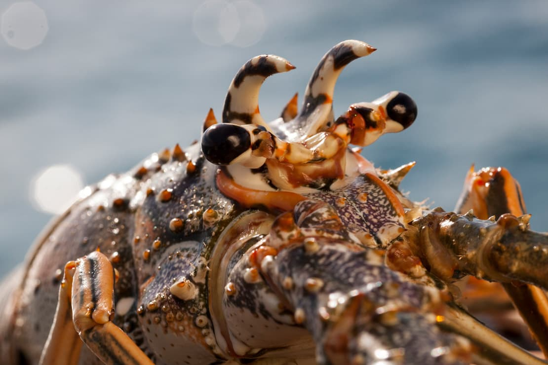 A spiny lobster in Spanish Wells, Bahamas