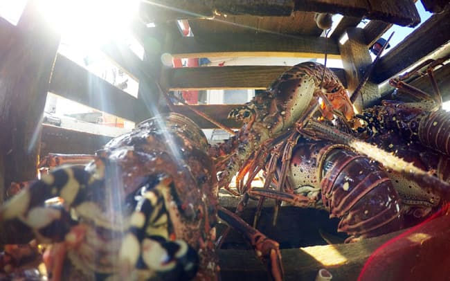 Spiny lobsters in a trap on the Miss Danika lobster fishing boat off the coast of Honduras