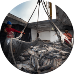 Fisherman processing tuna caught in nets in Posoria, Ecuador