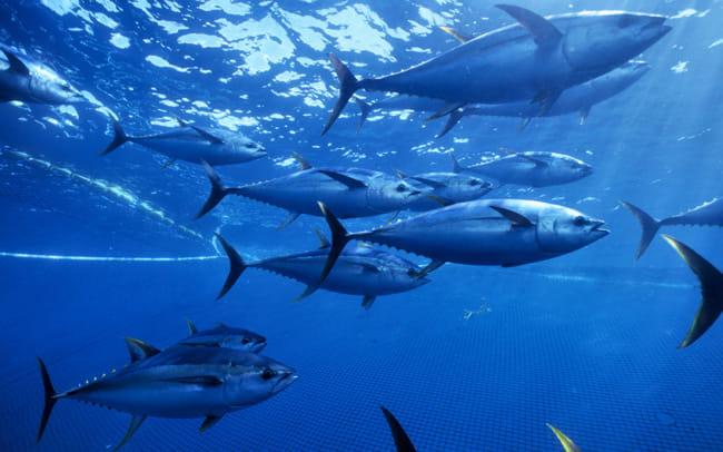 Yellow fin tuna (Thunnus albacares) shoal caught in purse seiner fishing nets, Pacific ocean, Mexico.