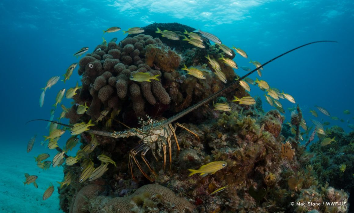 Spiny lobster in coral reef