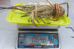 Spiny lobster on scale at processing station