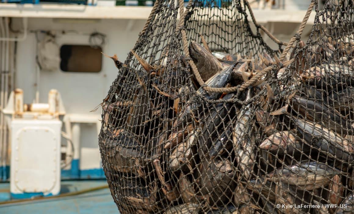 Freshly caught tuna Ghana